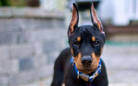 Doberman Puppies For Sale In Kolkata Flower Pets