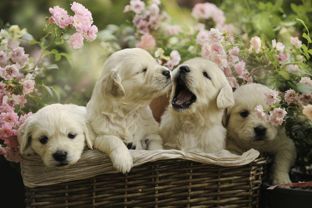 Golden-retriever puppies for sale in kolkata